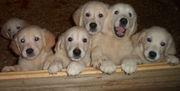 голден ретривера очаровательные щеночки