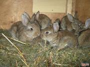 Кролики серого великана