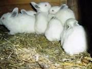 срочно! Калифорнийские кролики