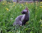 Элегантный котенок голубого окраса