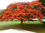 Семена Делоникса королевского (Огненное дерево)