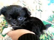 малышка чихуахуа