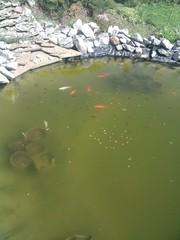 декоративные рыбки для пруда
