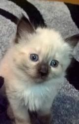 Балинезийский котенок