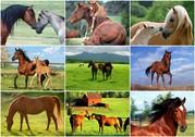 Куплю лошадей,  жеребят живым весом в беларуси