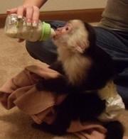 немовлят капуцин мавп для прийняття